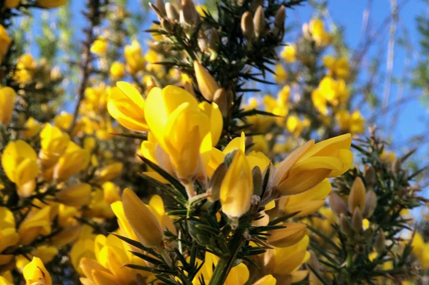 gorse bloom