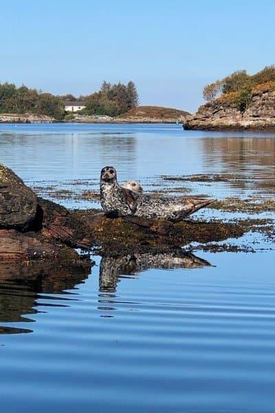 Harbour seal at Badachro